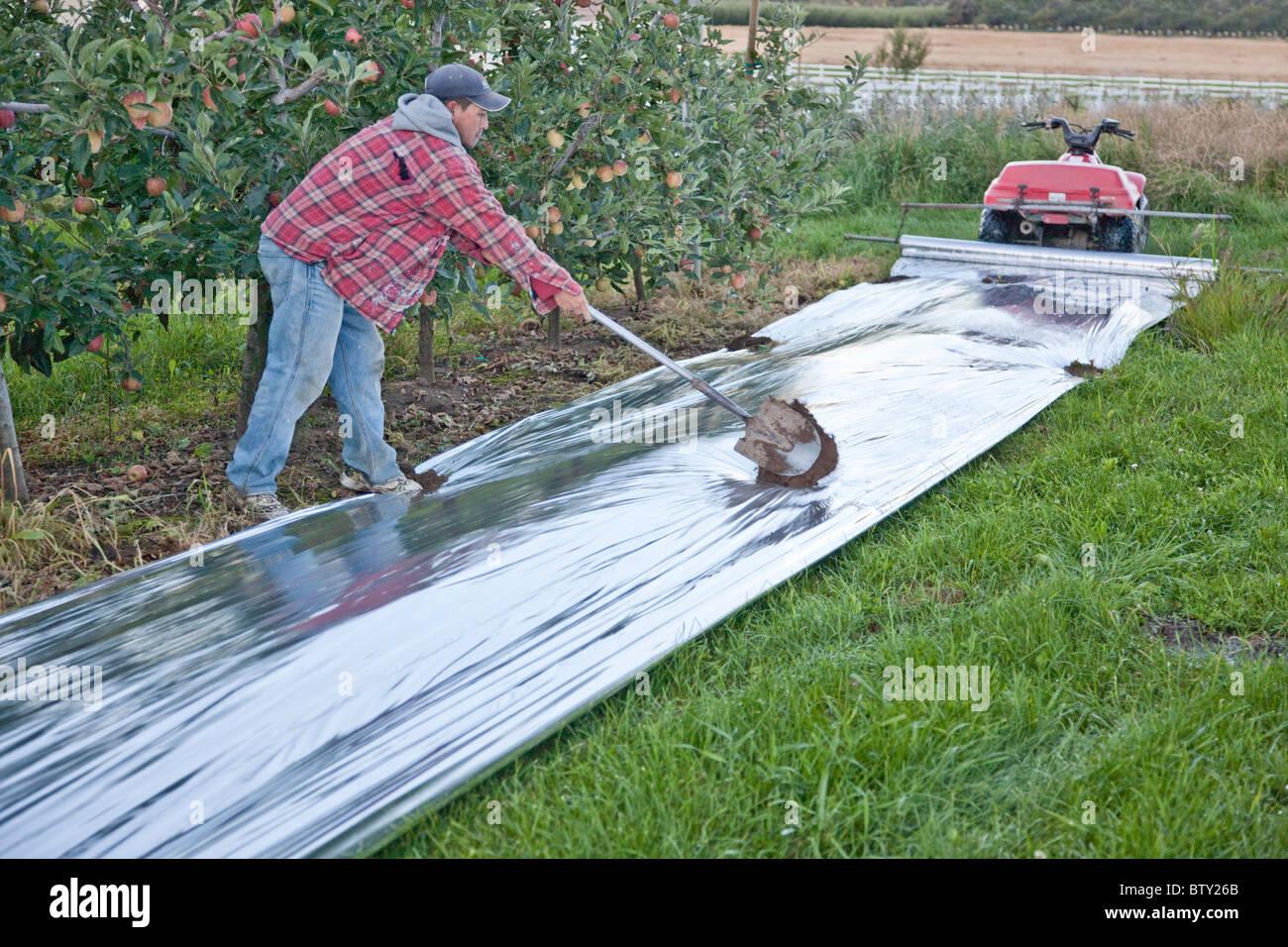 Worker installing mylar, apple orchard. - Stock Image