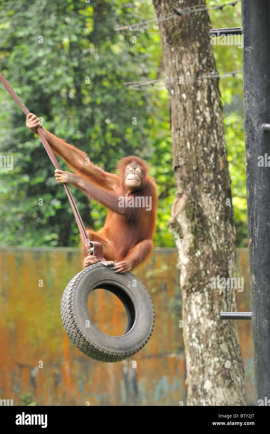 ape-picture-of-a-orang-utan-swinging-on-a-tyre-swing-at-full-speed-BTY2JT.jpg