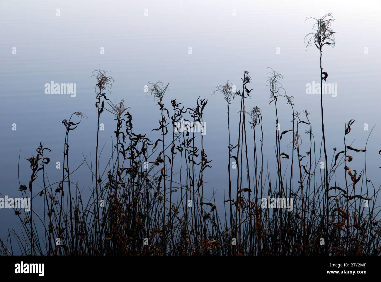 Reeds and other plants of the water margin at Bwlch Nant-yr-Arian, Ceredigion, mid Wales. - Stock Image