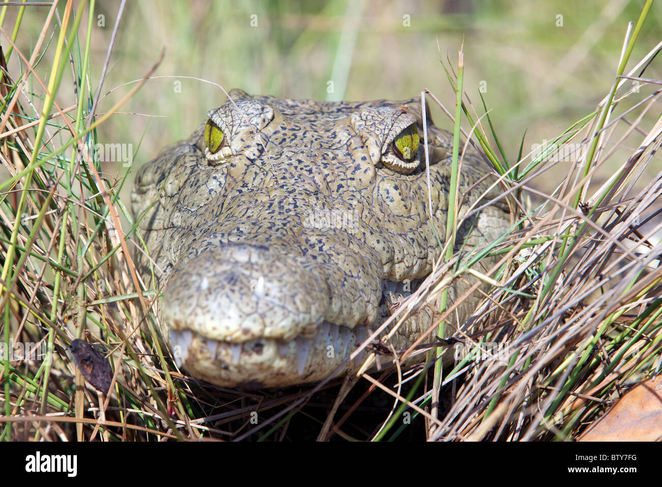 NILE CROCODILE ( Crocodylus niloticus ) Saadani National Park Tanzania - Stock Image
