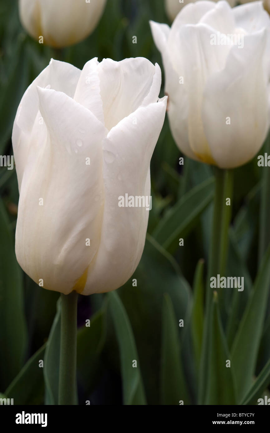 Agrass White Tulips In The Keukenhof At Lisse The Netherlands Type