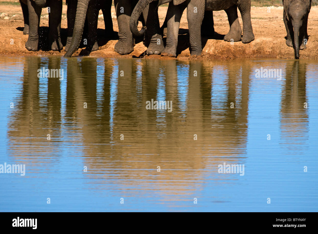 A thirsty family of big Elephant drink fresh water in a big puddle. The new born on the right is risking to go in - Stock Image