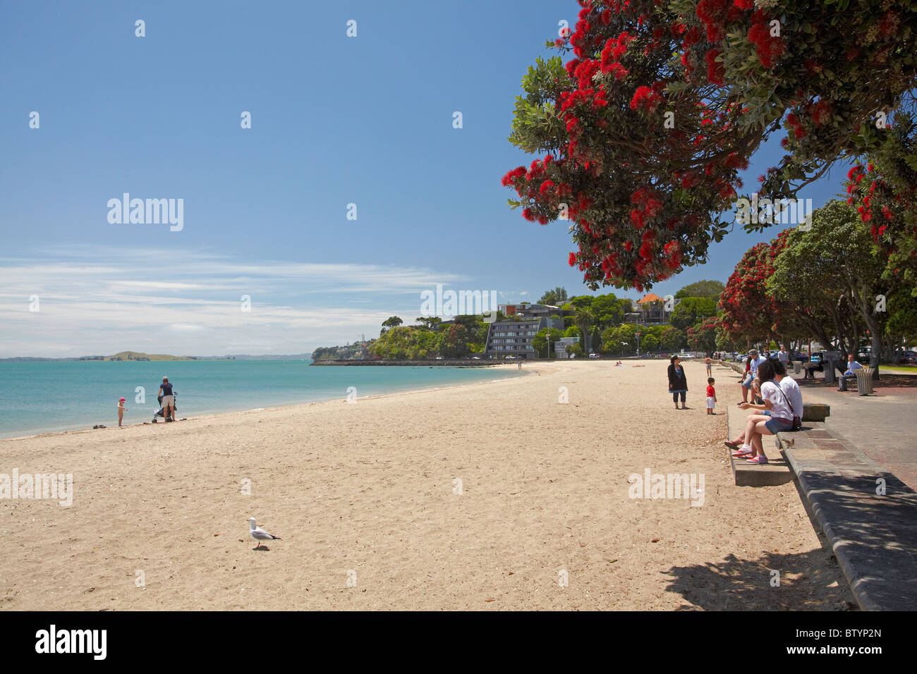 Mission bay beach and pohutukawa tree auckland north - Mission bay swimming pool auckland ...