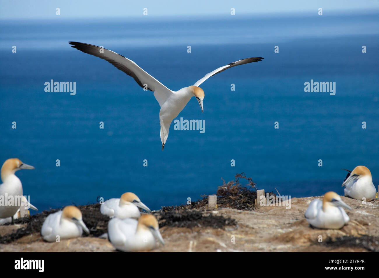 Australasian Gannets ( Morus serrator ), Cape Kidnappers Gannet Colony, Hawkes Bay, North Island, New Zealand - Stock Image
