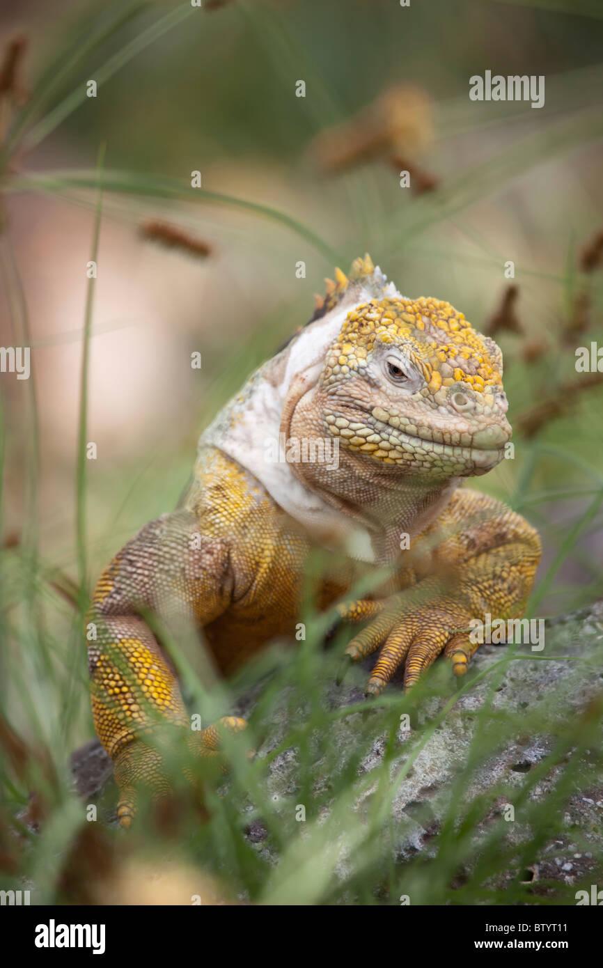 Male land iguana, South Plaza Island, Galapagos Islands, Ecuador - Stock Image
