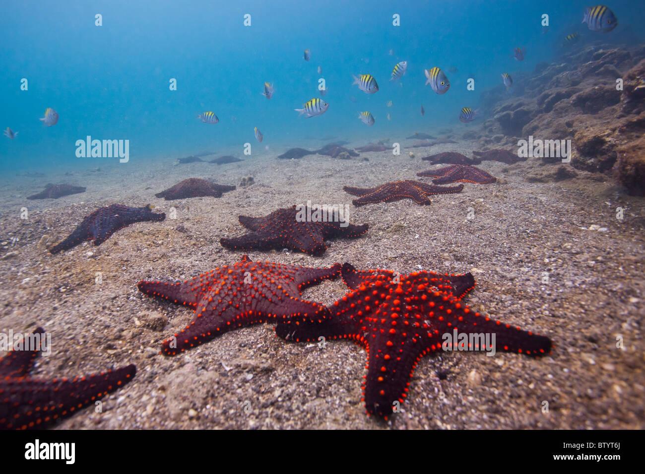 Colorful sea stars on the ocean floor, Bartolome Island, Galapagos Islands, Ecuador Stock Photo