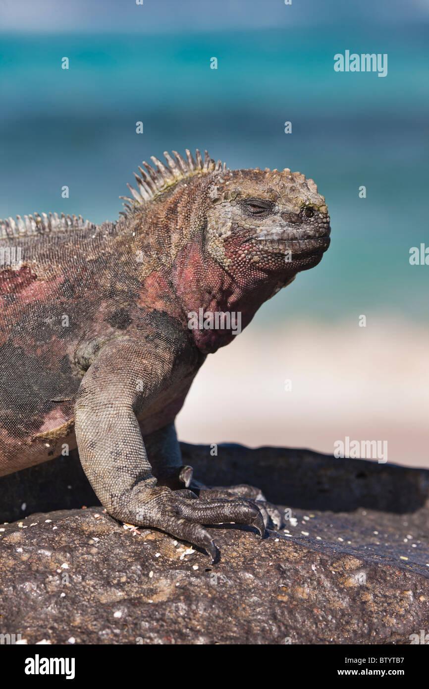 Uniquely colored red and green marine iguanas, Punto Suarez, Espanola Island, Galapagos Islands, Ecuador. - Stock Image