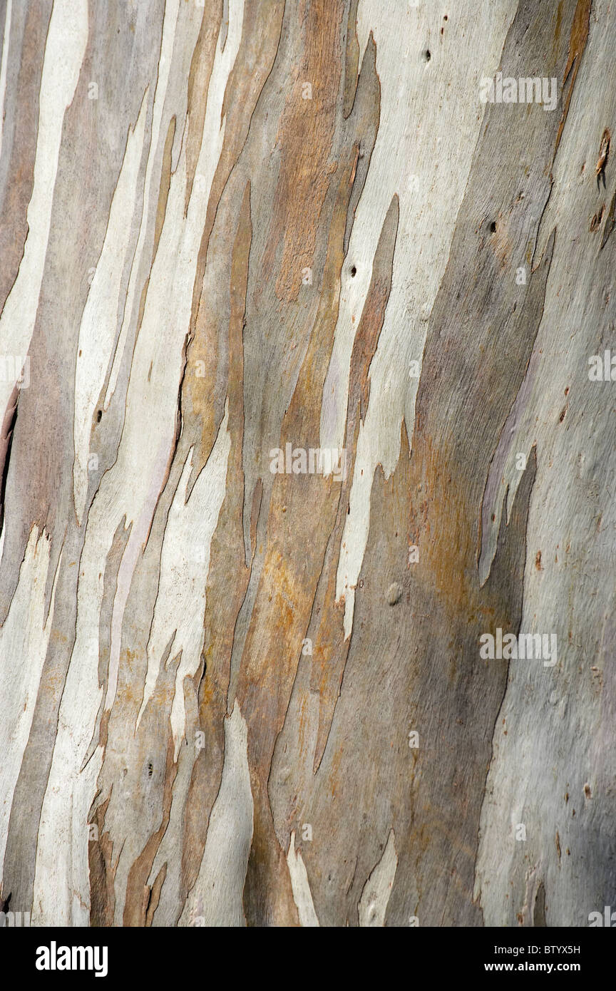 Bark of gum tree, Dunedin, Otago, South Island, New Zealand - Stock Image