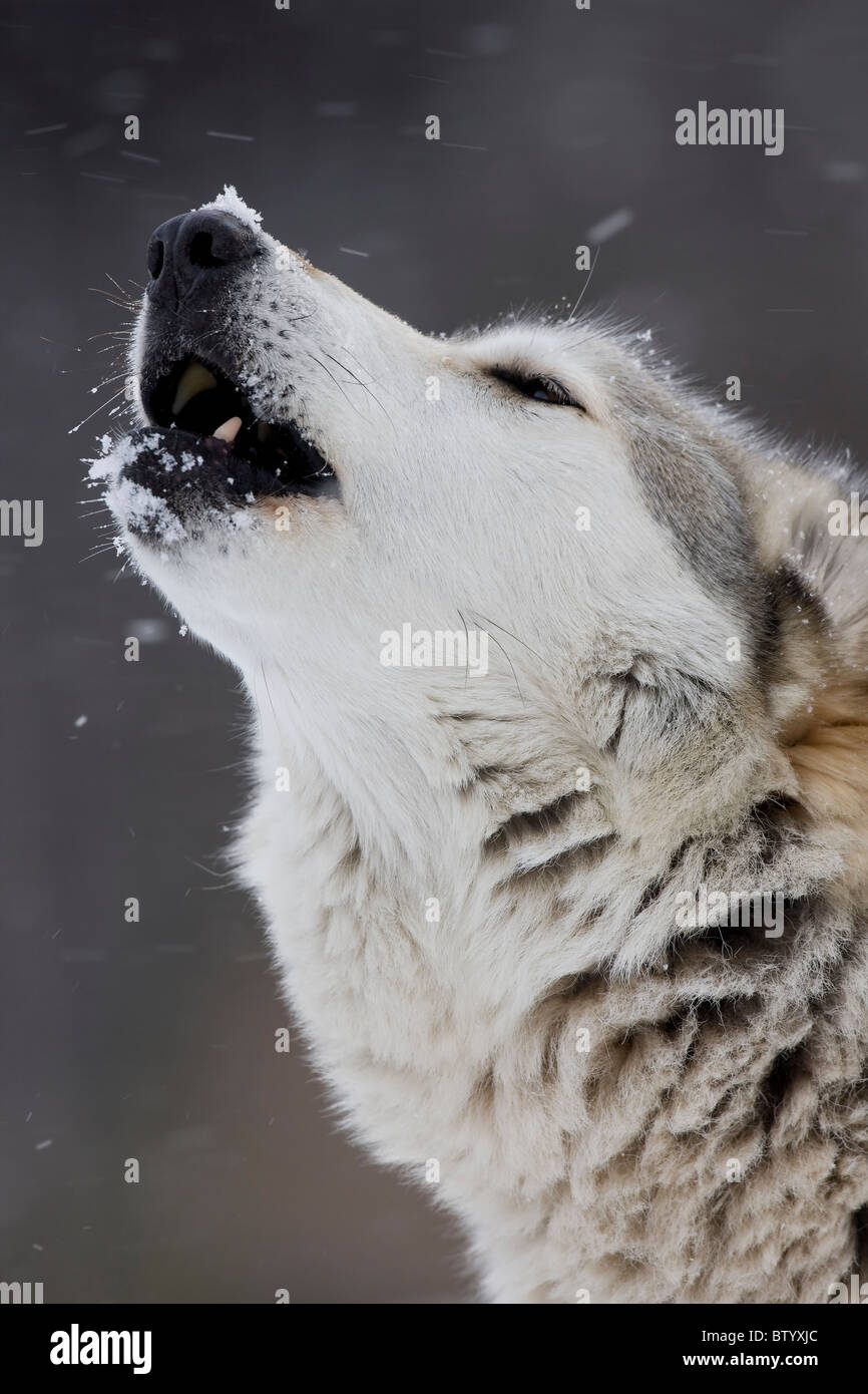 Gray Wolf (Timber Wolf) (Canis lupus) Male - Howling - Captive - New York - USA - Stock Image