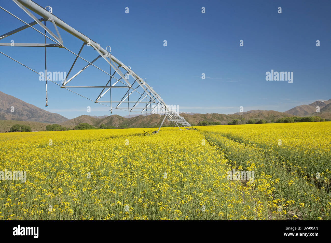 Centre pivot irrigation and canola / rapeseed field near Omarama, North Otago, South Island, New Zealand - Stock Image