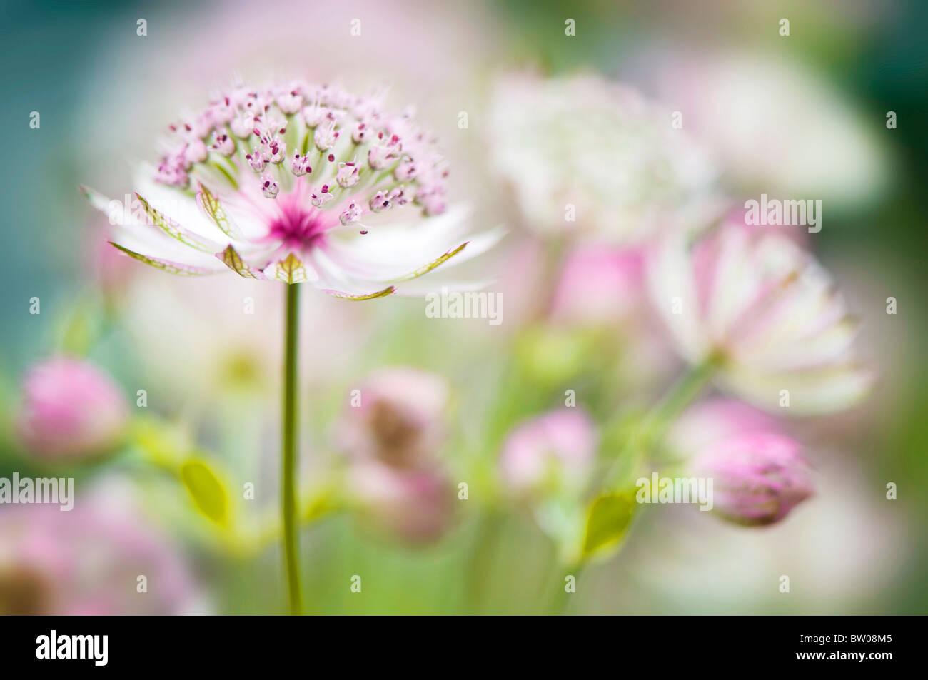 Astrantia major 'Bo Anne' pink flowers - Stock Image