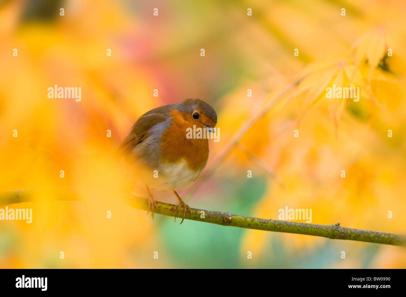 A Robin - Erithacus rubecula sitting on a branch in an Autumn coloured Acer tree - Japanese maple - Stock Image