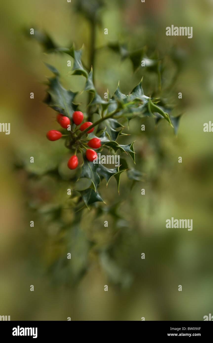 Common Holly with Red Winter Berries - Ilex Aquifolium Stock Photo