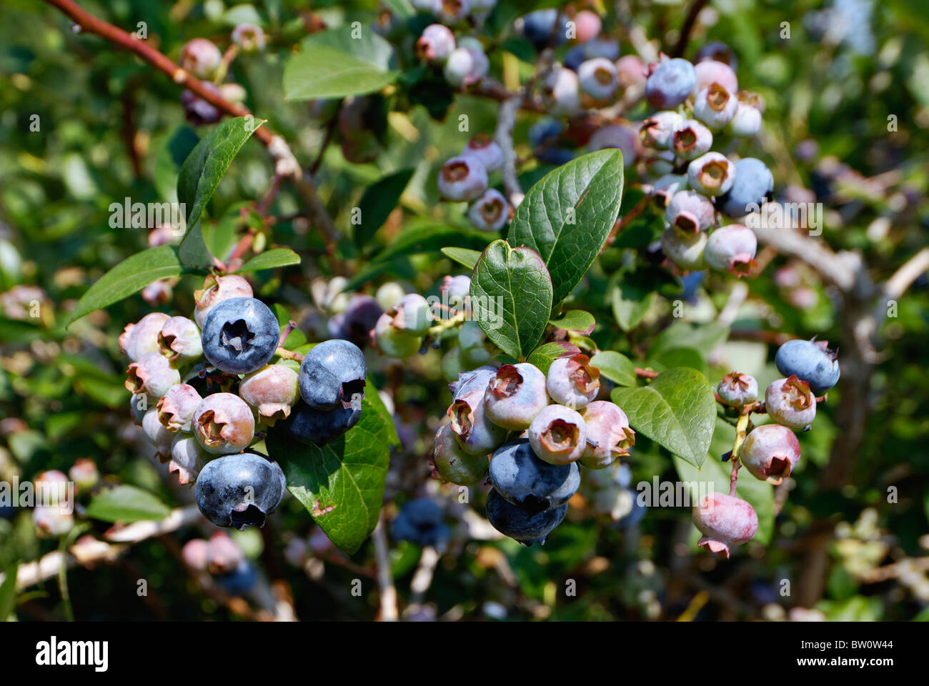 Blueberries Growing on the Bush in Harrison County, Indiana - Stock Image