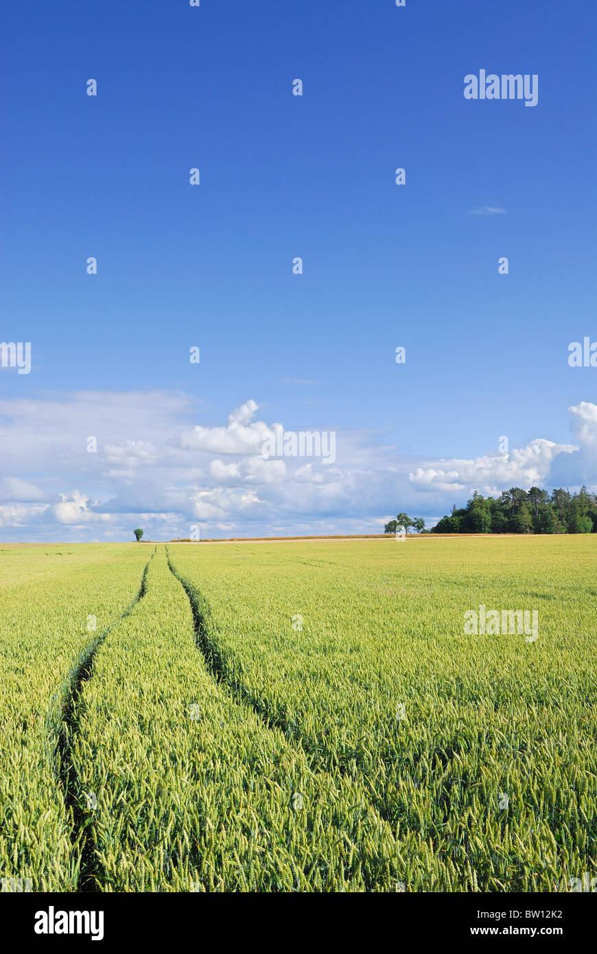 Wheat field and blue sky, Östergötland, Sweden, Europe Stock Photo