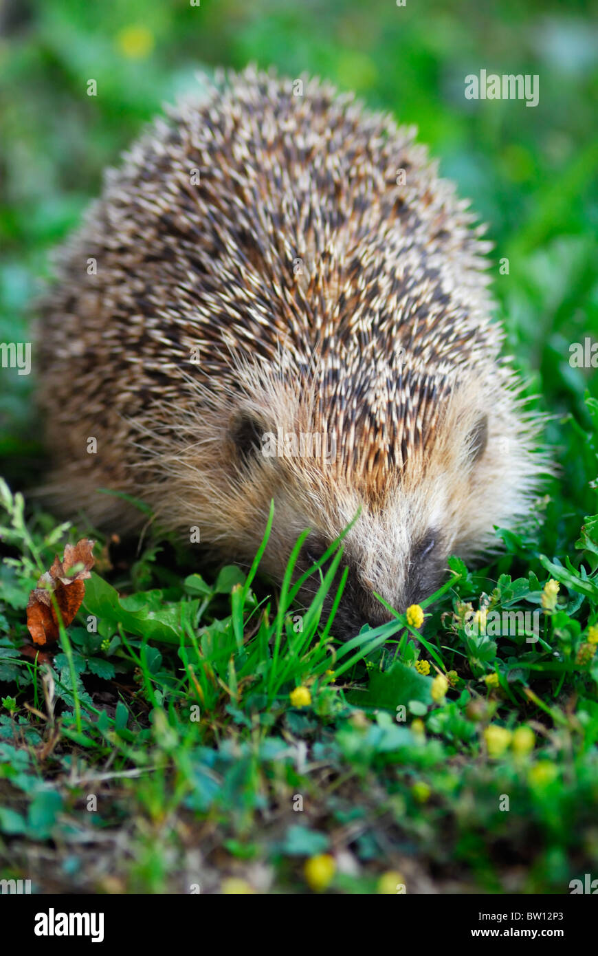 Close-up of Hedgehog (Erinaceus europaeus), Sweden - Stock Image