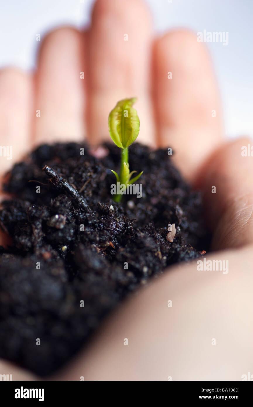 Hand holding seedling - Stock Image