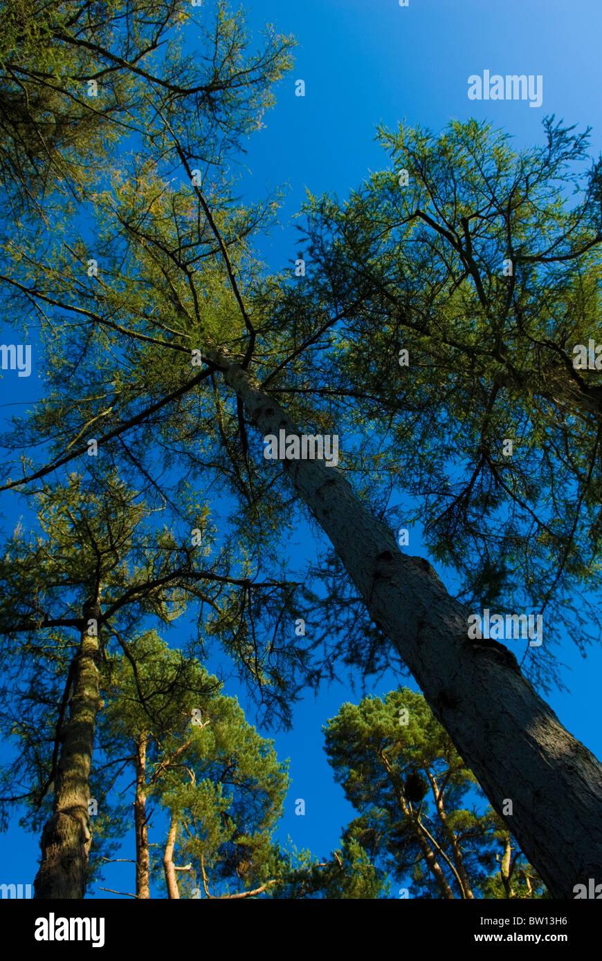 Looking up to tree canopy under a blue sky - Stock Image