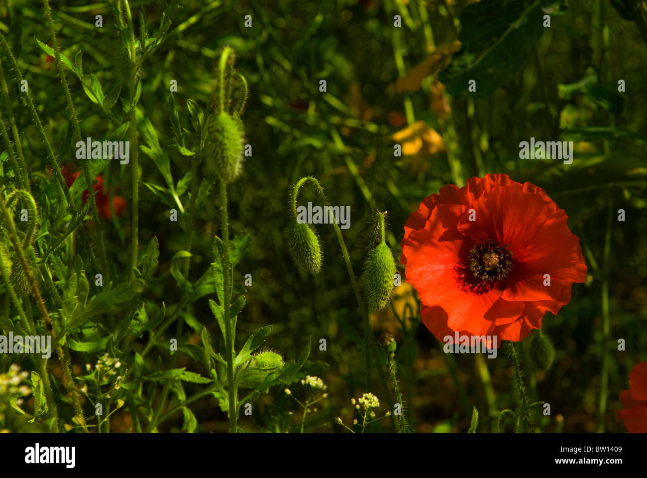 Papaver rhoeas red poppy in flower and poppy seed bud heads - Stock Image