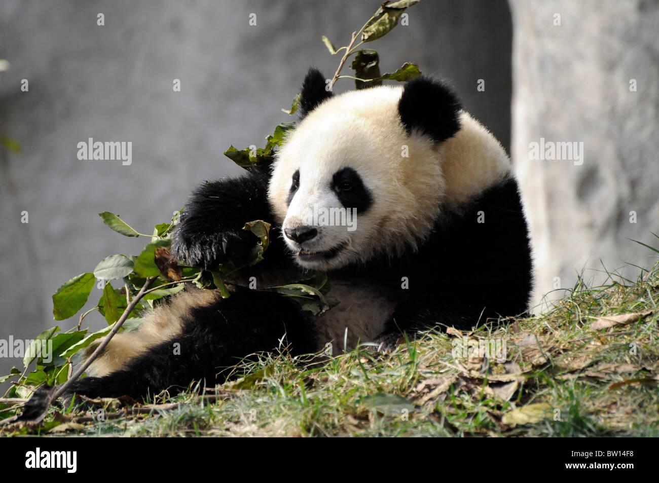 Giant Panda (Ailuropoda melanoleuca) sitting, Chengdu Panda Breeding Reserve, Sichuan province, China - Stock Image