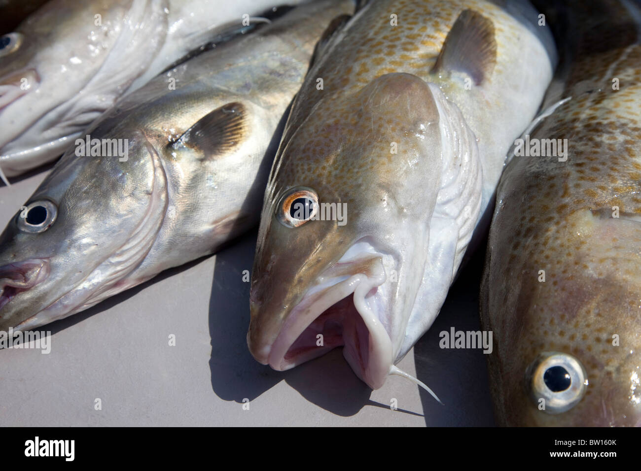Line caught Cod and Pollack UK - Stock Image