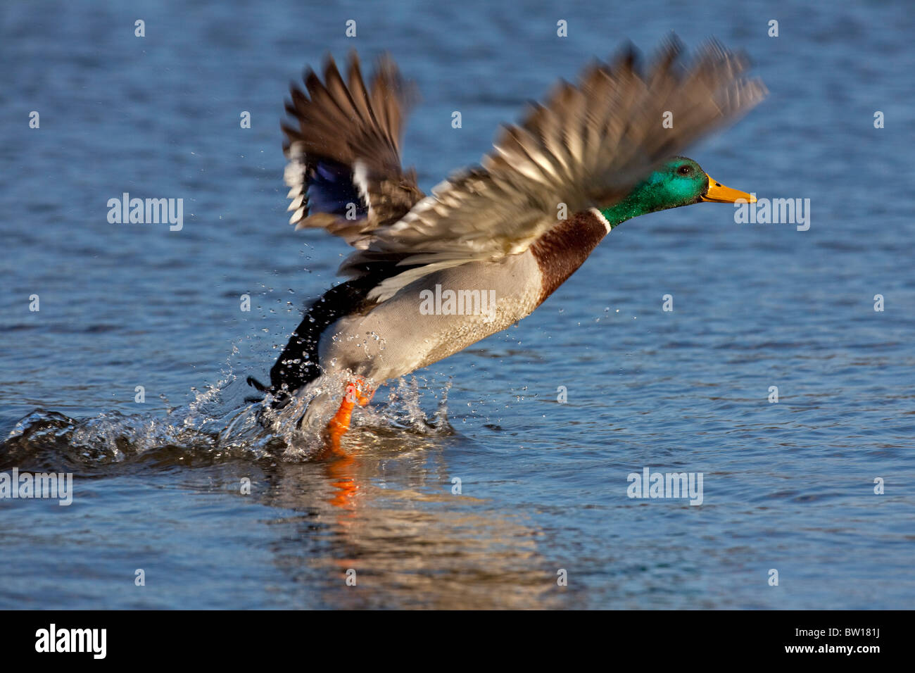 Mallard / Wild duck (Anas platyrhynchos) male taking off from lake - Stock Image