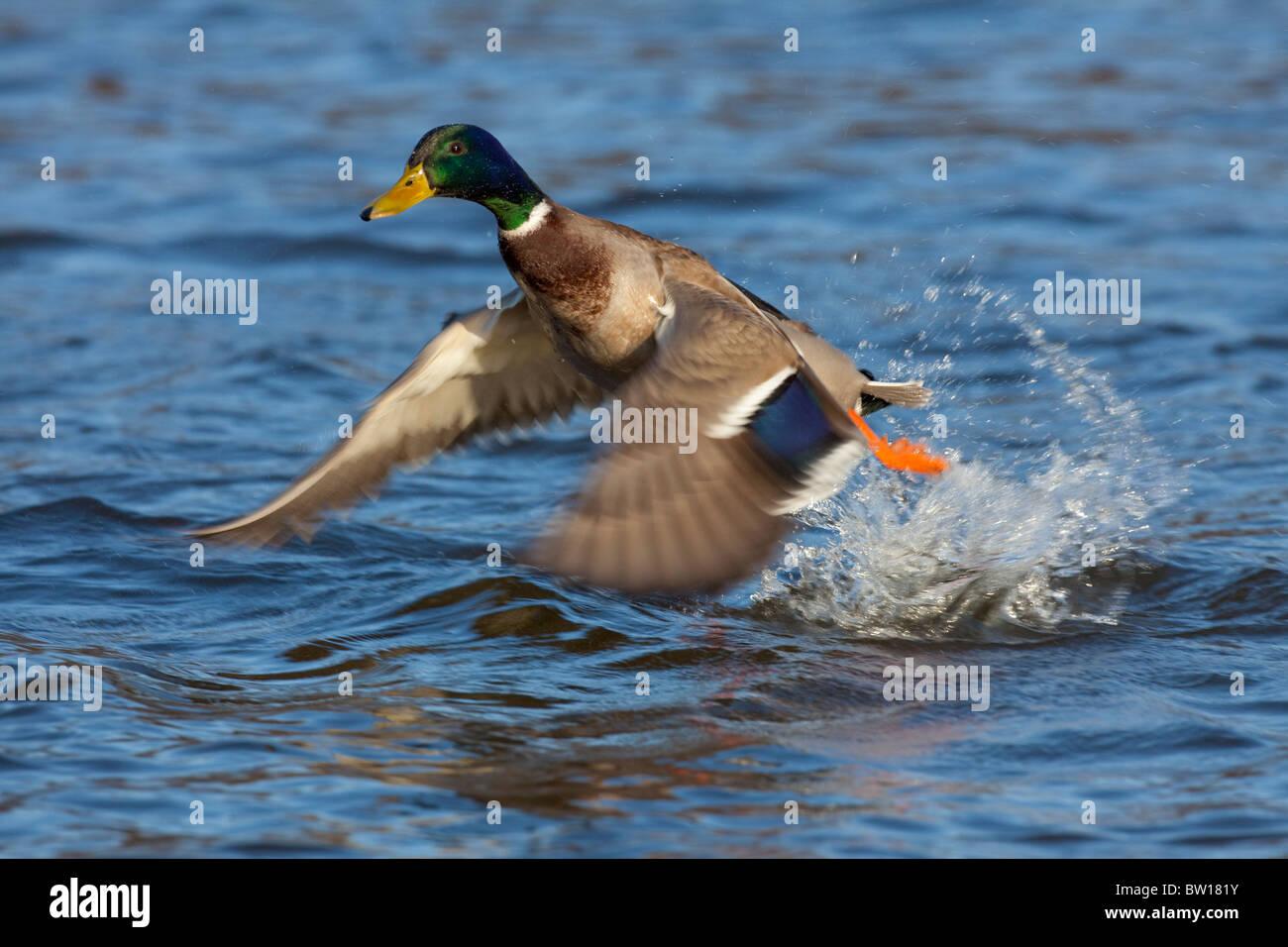 Mallard / Wild duck (Anas platyrhynchos) drake taking off from lake - Stock Image