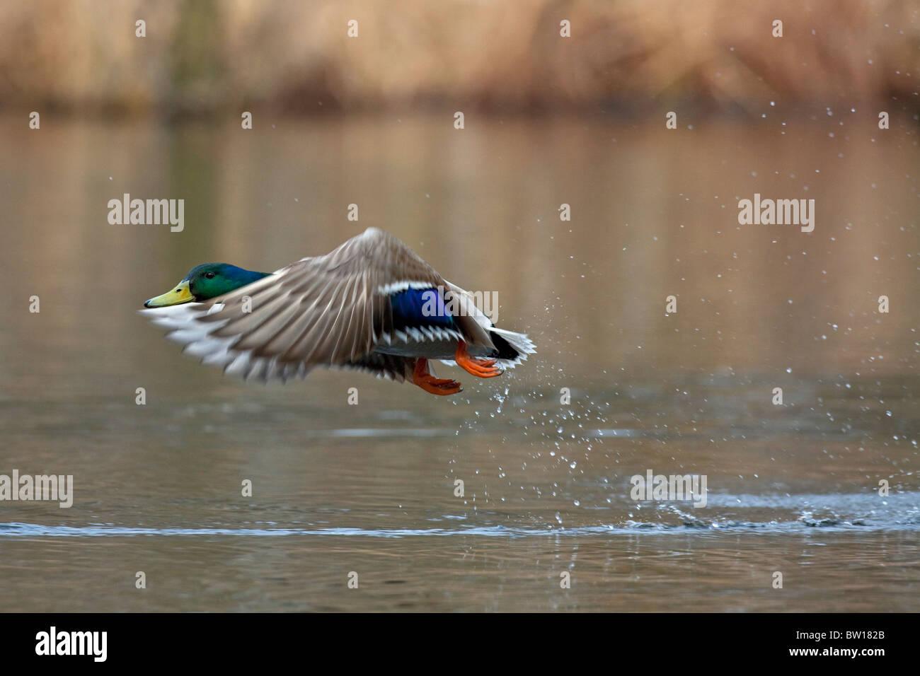 Mallard / Wild duck (Anas platyrhynchos) male taking off from lake - Stock Image