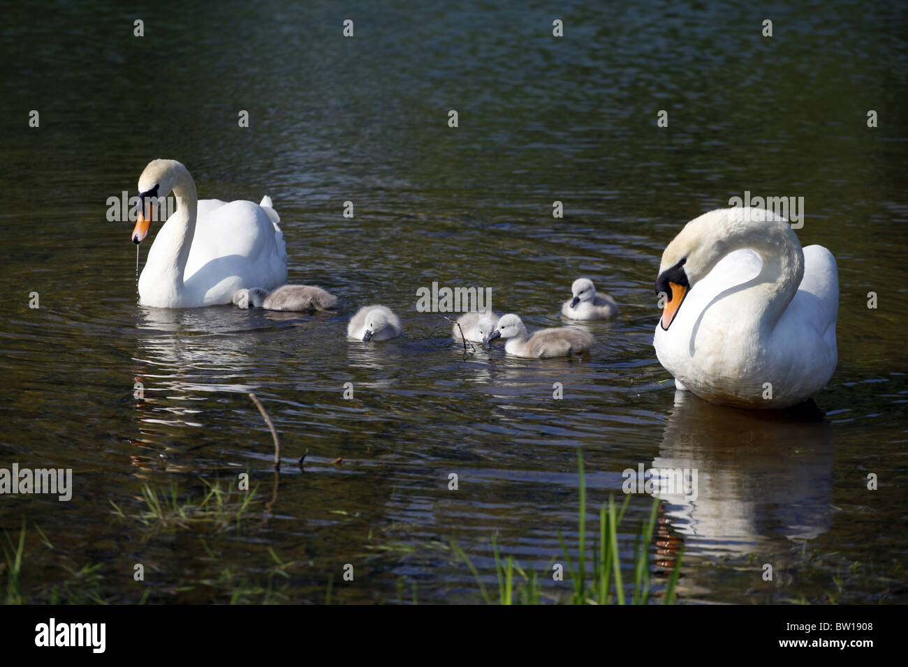 SWAN CYGNETS CASTLE HOWARD NORTH YORKSHIRE ENGLAND MALTON NORTH YORKSHIRE ENGLAND CASTLE HOWARD NORTH YORKSHIRE Stock Photo