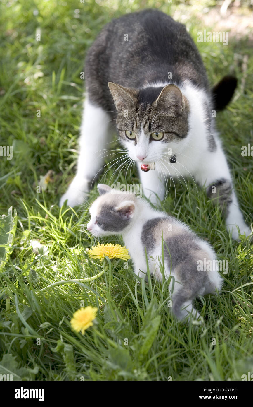 Pet cat protecting kitten outside - Stock Image