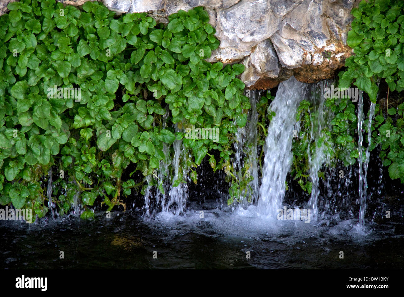 watercress growing on rock with natural spring water flowing at