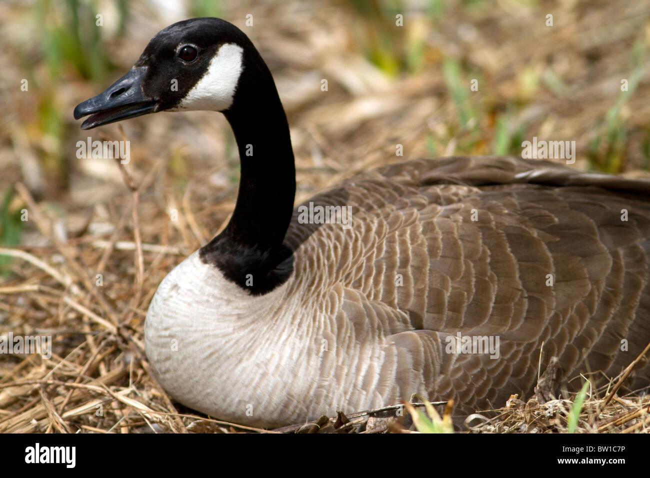 Canada goose nesting on the Boise River in Boise, Idaho, USA. - Stock Image