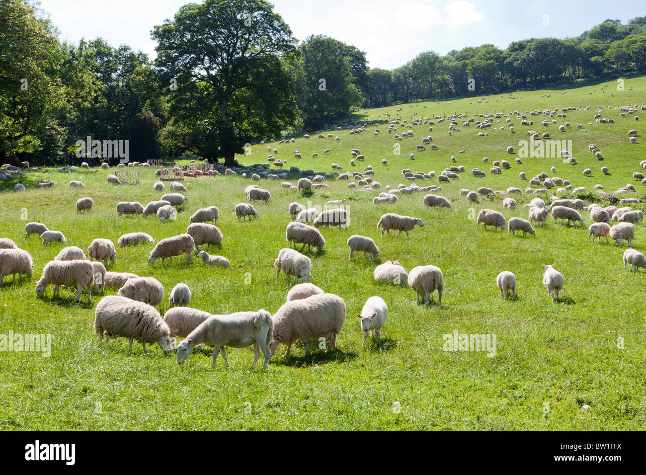 A field of grazing sheep at Aber Village, south of Talybont-on-Usk, Powys, Wales - Stock Image