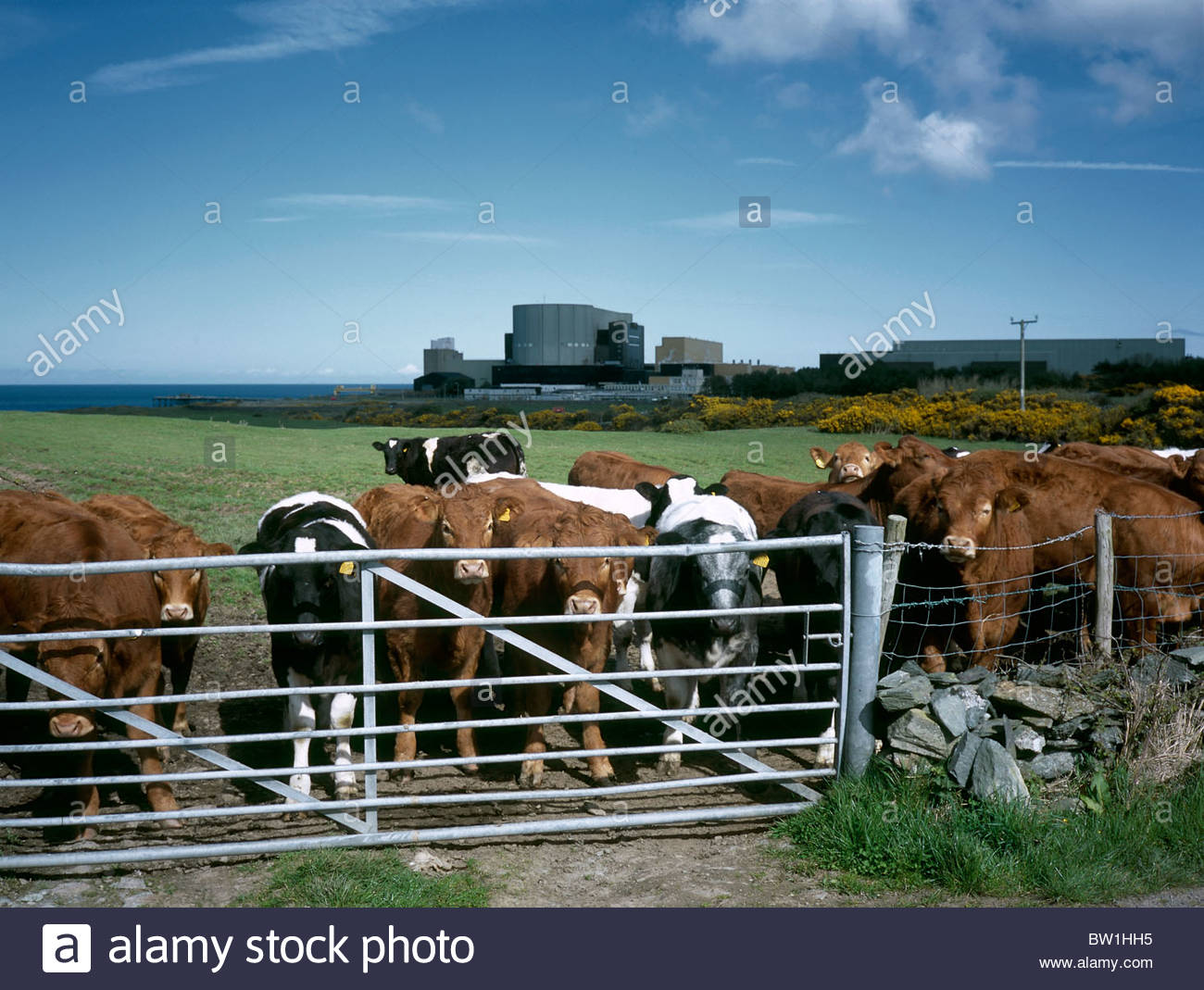 Herd of cows near Wylfa nuclear power station, Anglesey, Wales. April 2009 - Stock Image
