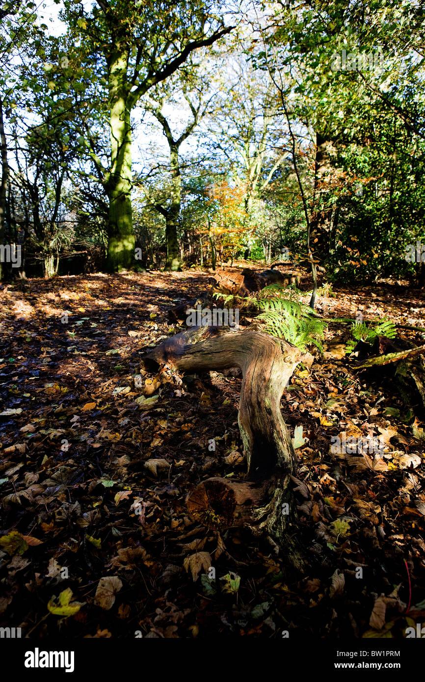 A deadwood log lies aside a footpath walk through a sunny 'bluebell wood' at Grappenhall Heys, Warrington, - Stock Image