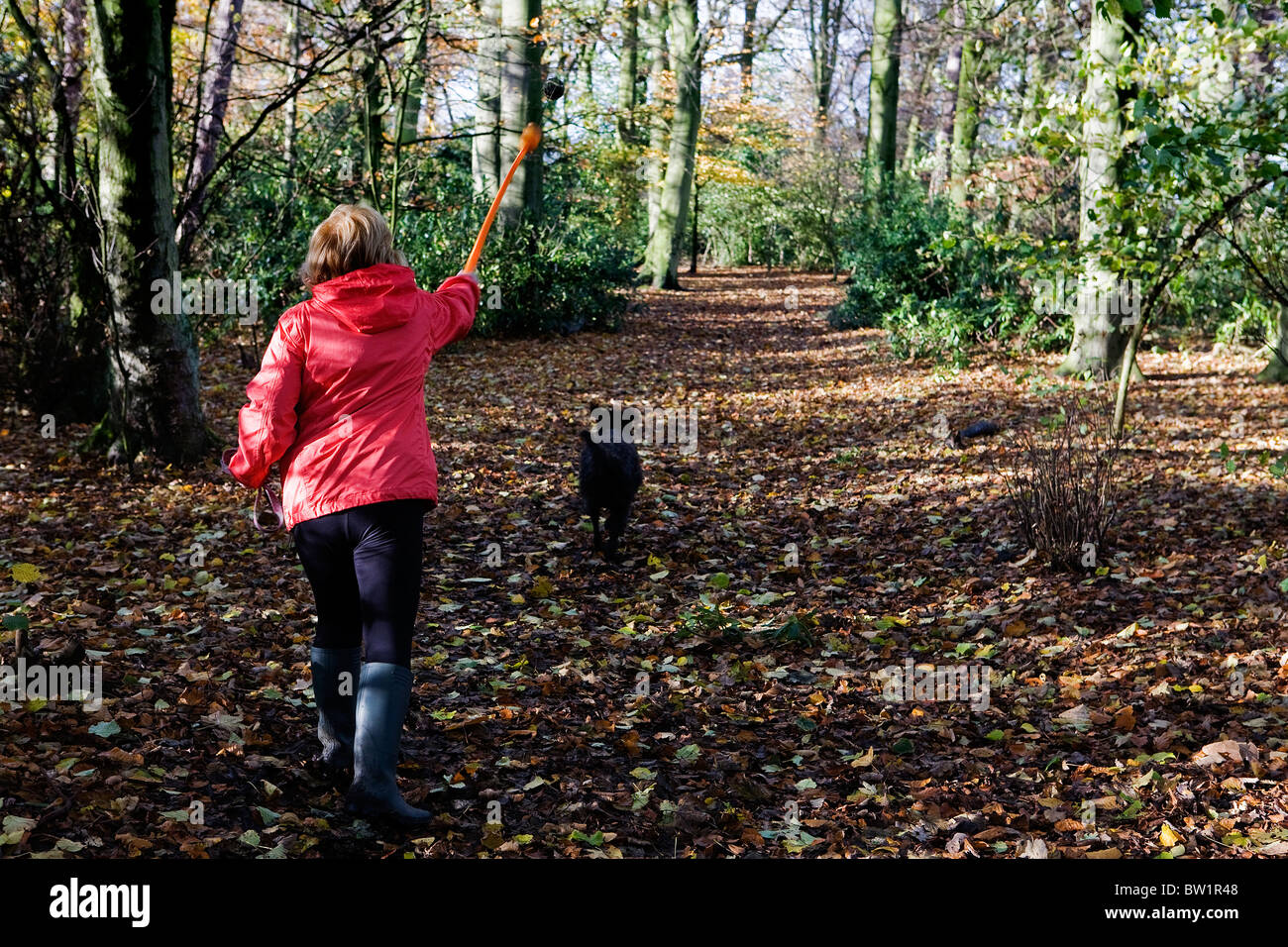 Lady in red coat uses a flinger to throw a ball for her Labradoodle dog to chase in a sunny 'bluebell wood' - Stock Image