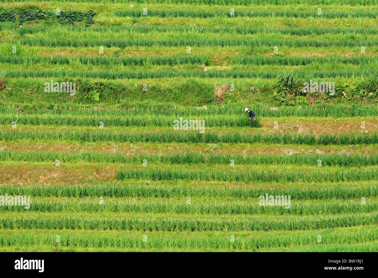 China - Dragon's Backbone Rice Terraces - Stock Image