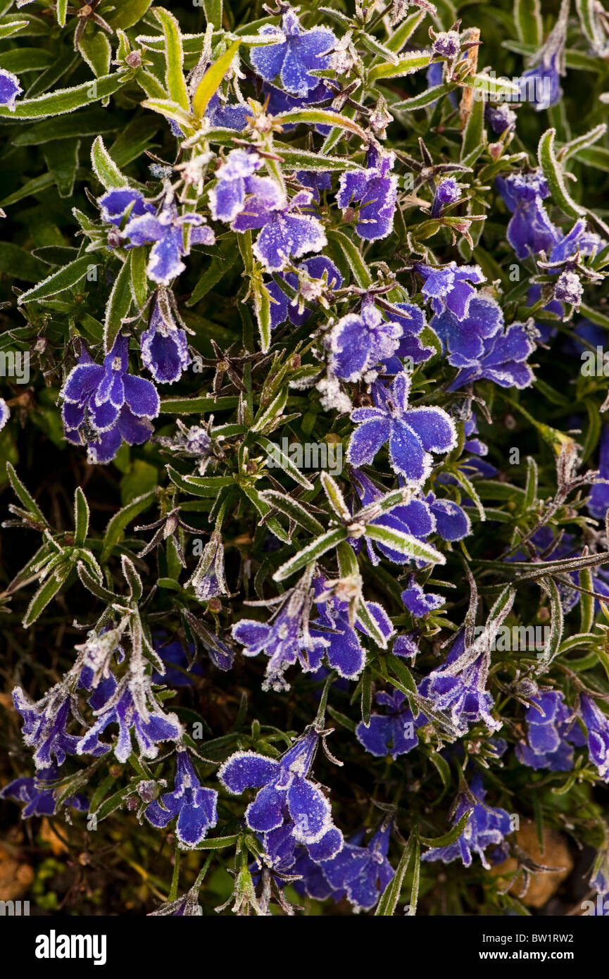 Lobelia Crystal Palace Stock Photos Lobelia Crystal Palace Stock