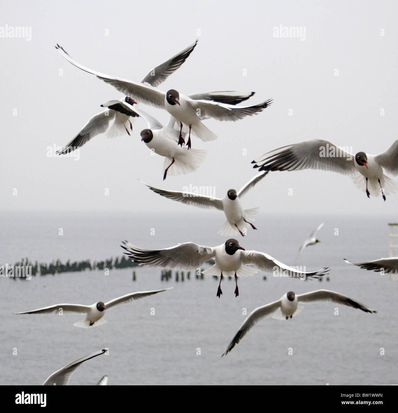 Black-headed seagulls in flight - Stock Image