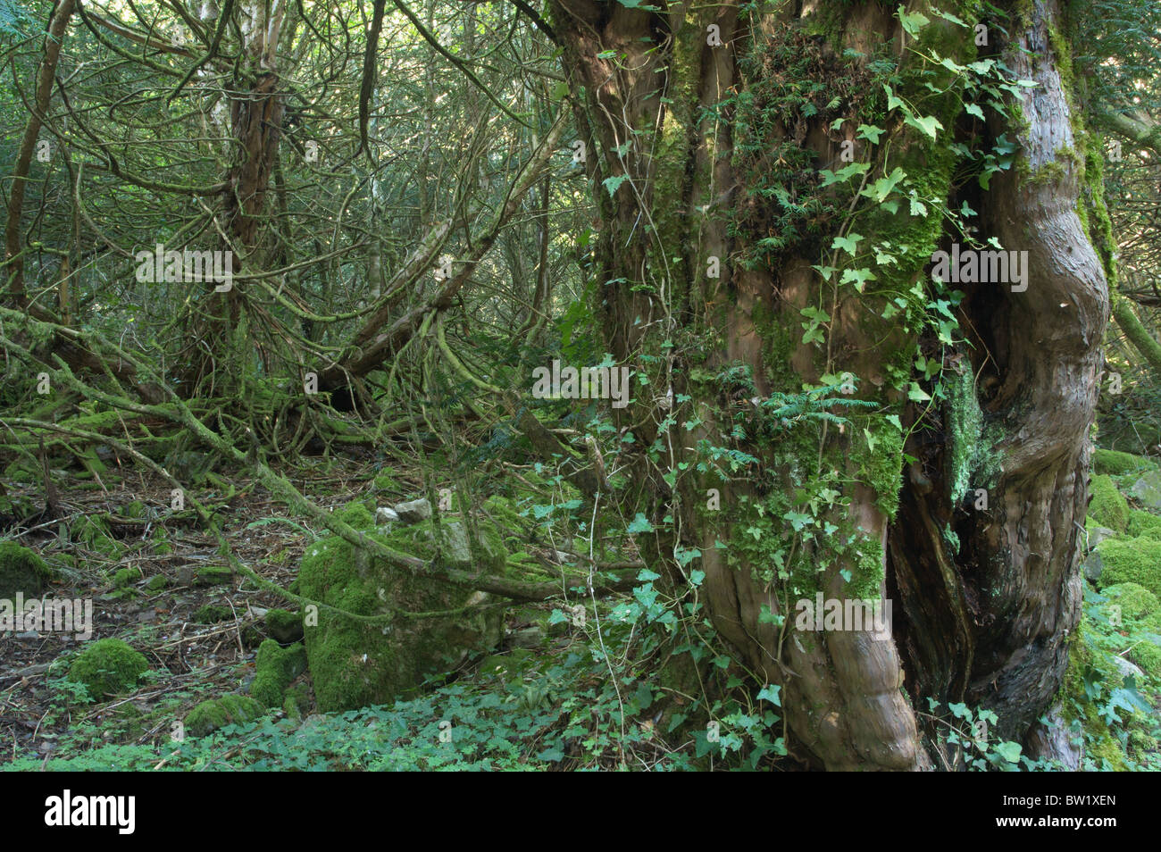 Yew forest (Taxus baccata) - Stock Image