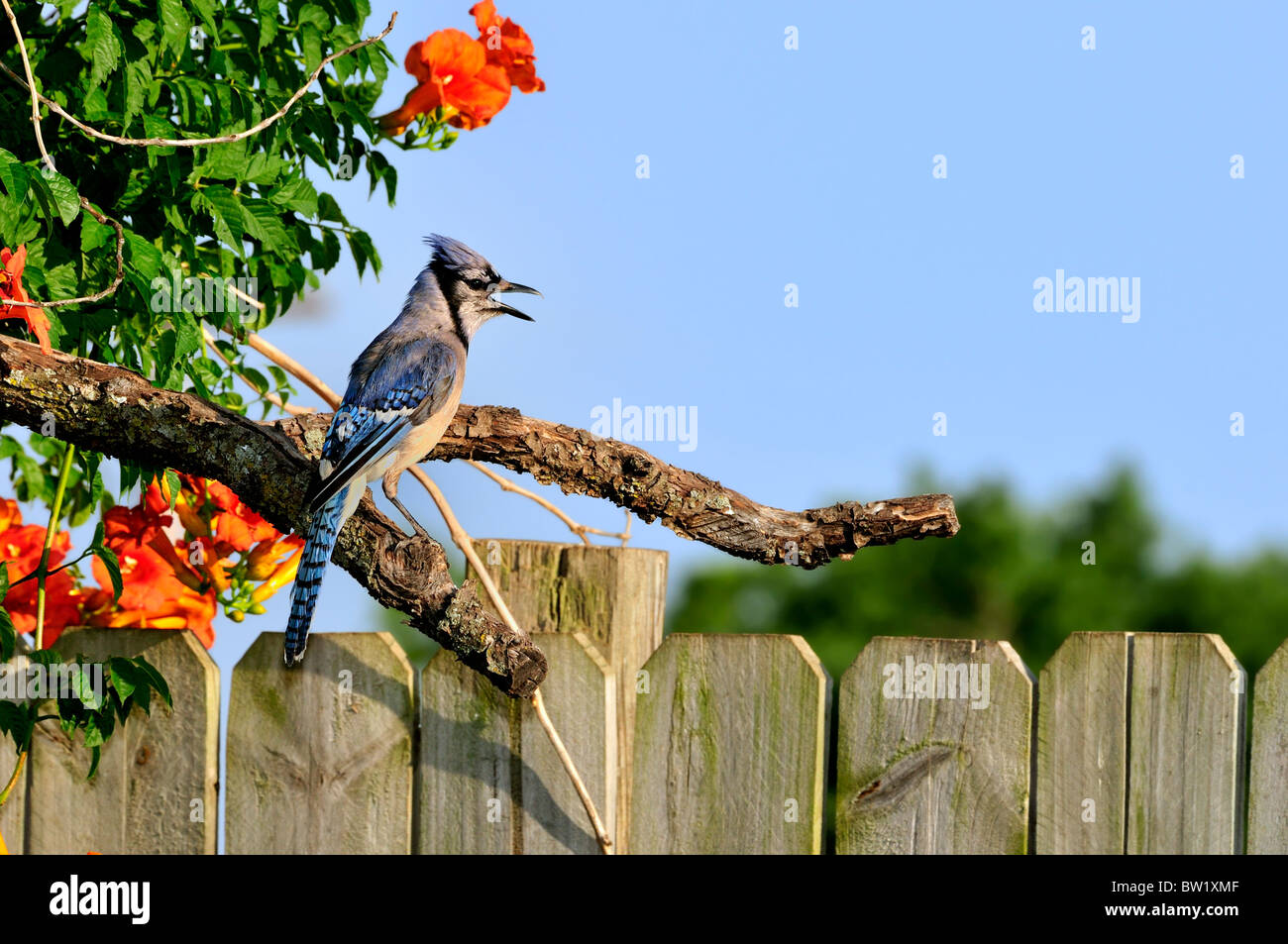 A Bluejay, Cyanocitta cristata, perches on a limb surrounded by trumpet flowers, Campsis x stagliabuana, against Stock Photo