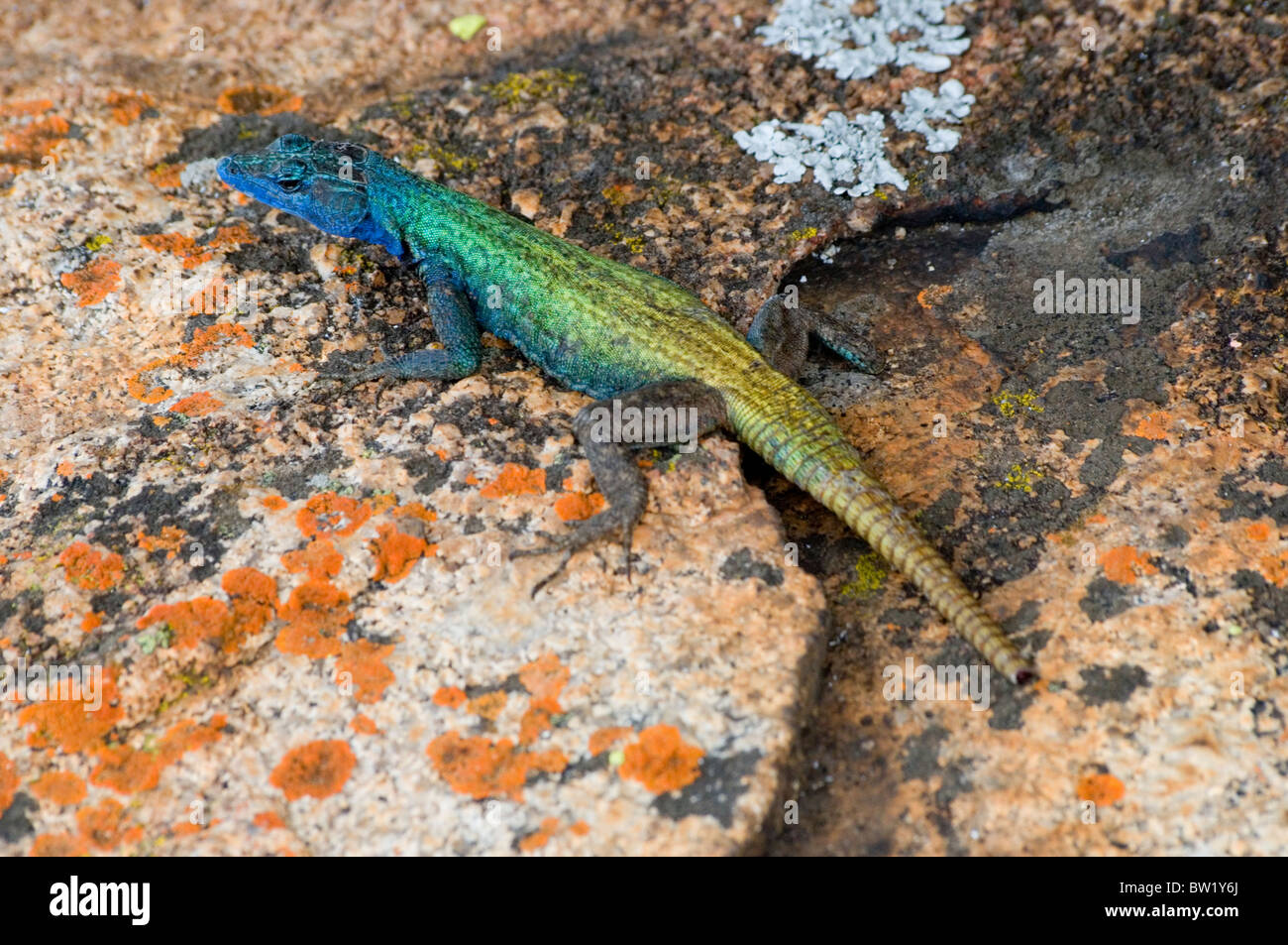 Platysaurus broadleyi, also commonly known as Augrabies flat lizard, in the Matobo National Park, Zimbabwe - Stock Image