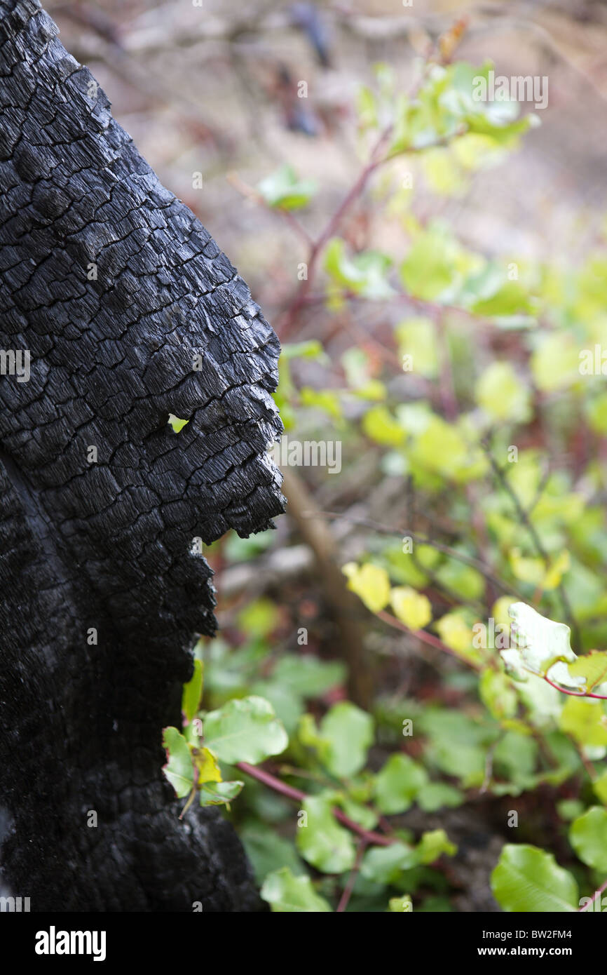 wood coal detail burned forest after fire disaster - Stock Image