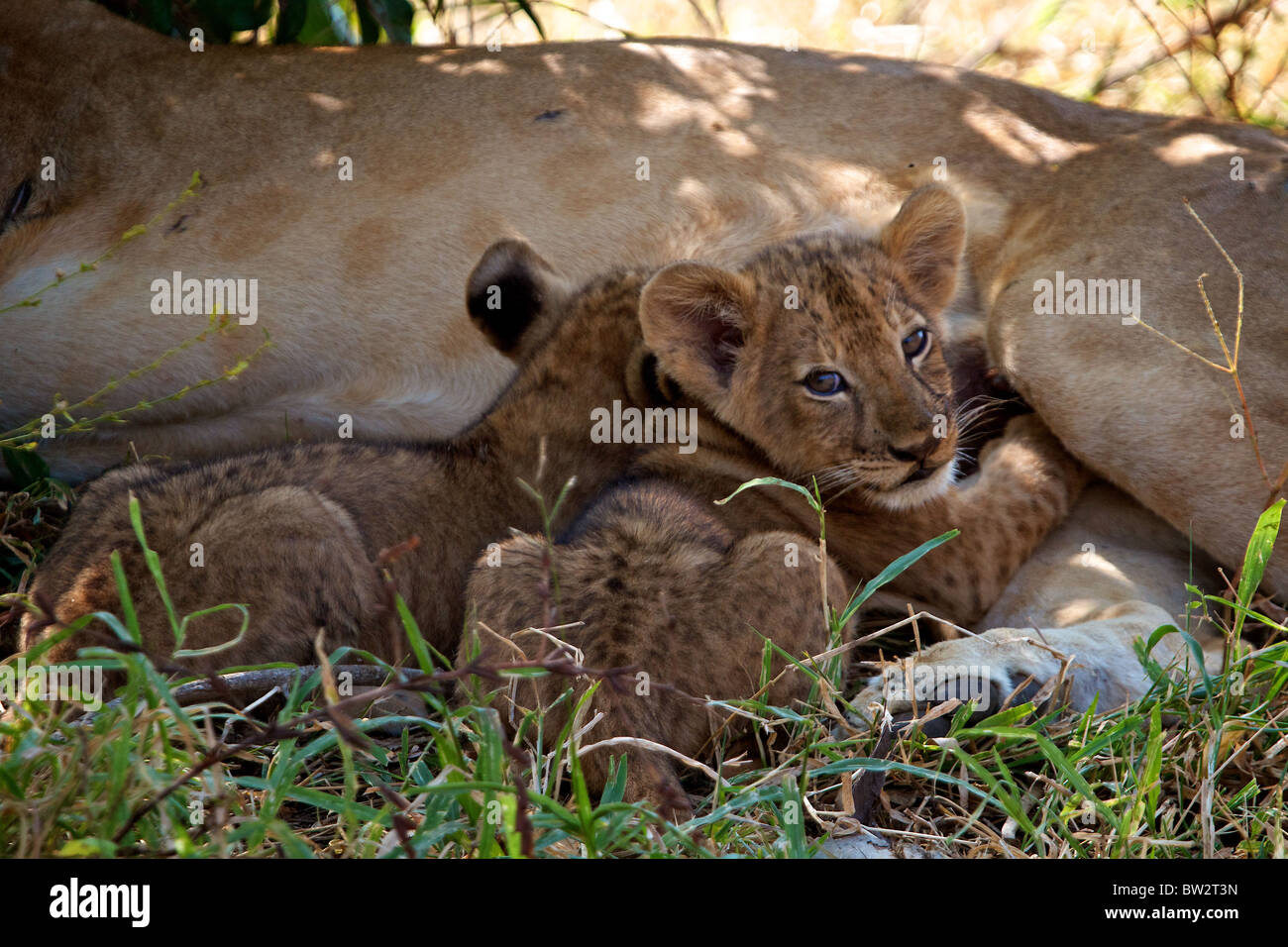 young lion cubs suckling AFRICAN LION ( Panthera Leo ) Selous National Park Tanzania - Stock Image