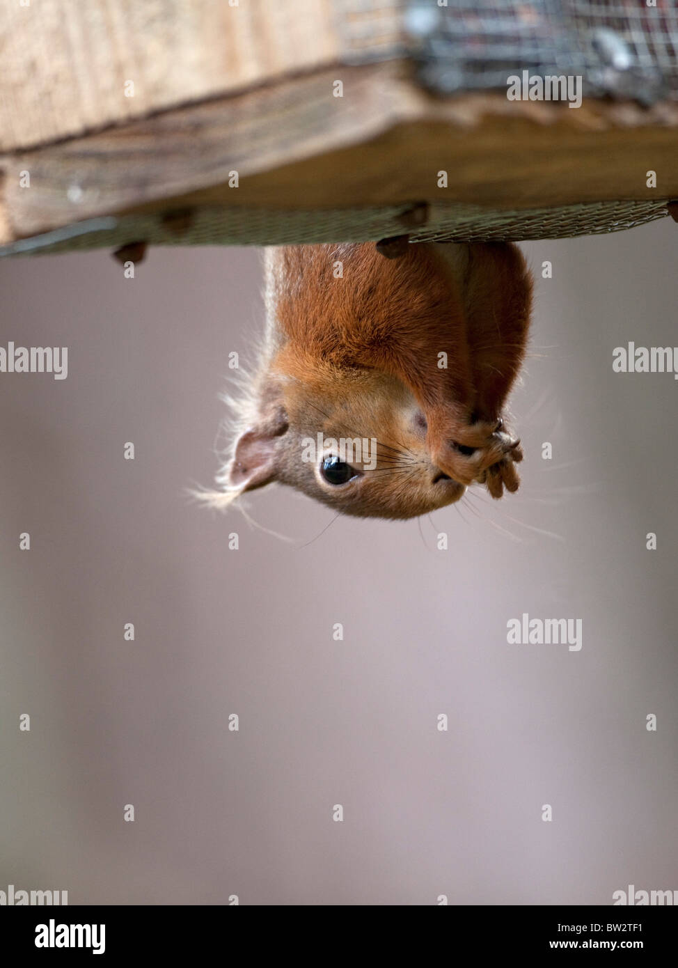 Cheeky red squirrel Sciurus vulgaris close up hanging upside down from a bird feeder to access peanuts - Stock Image