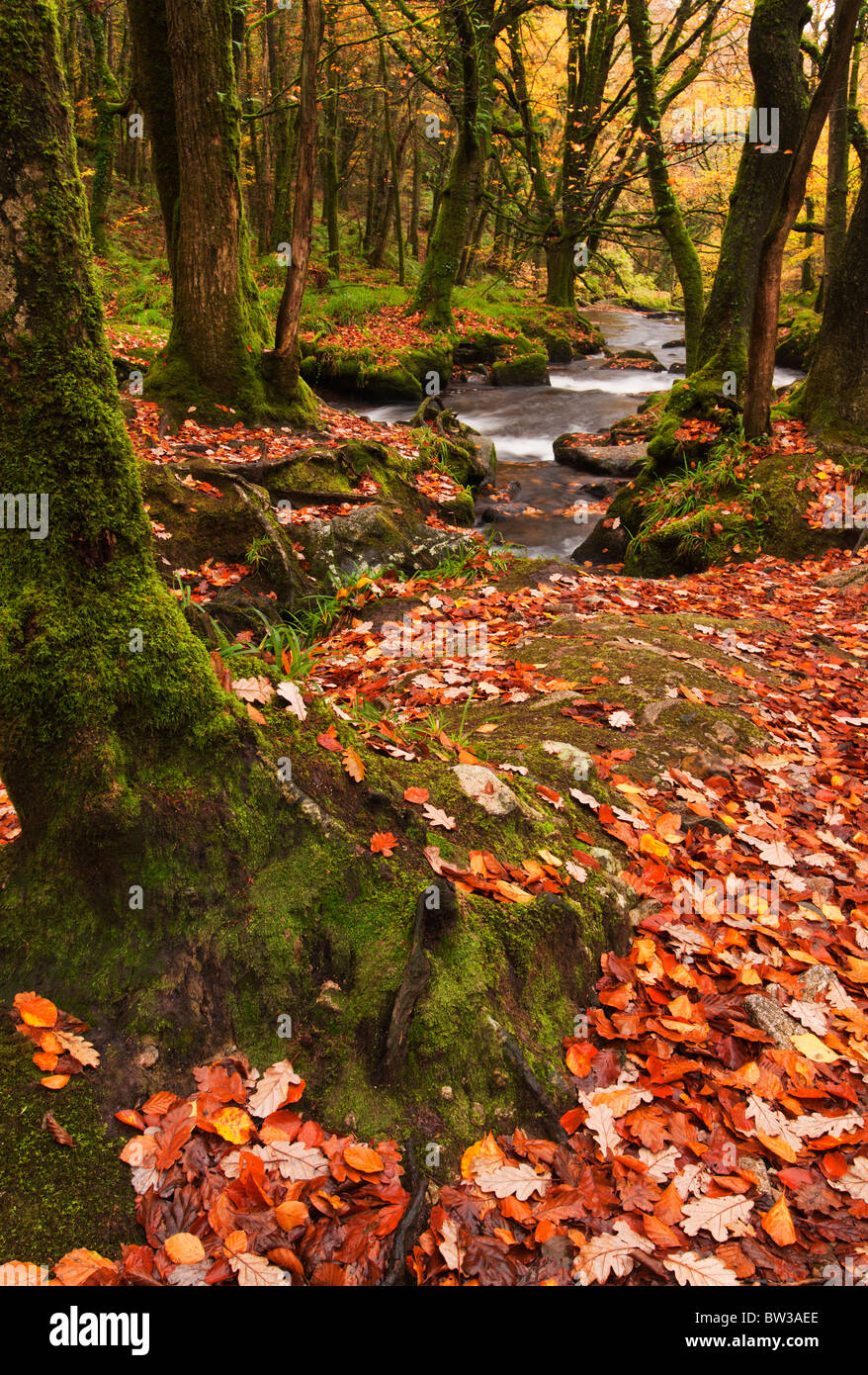 Carpet of fallen Autumn leaves at Golitha Falls on the River Fowey near Liskeard, Cornwall - Stock Image