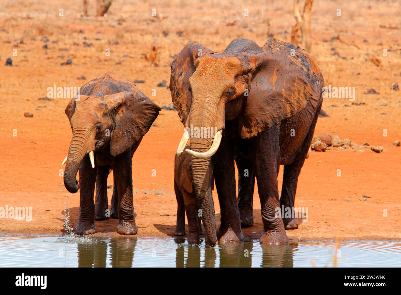 Family of elephants drinking at a pool - Stock Image
