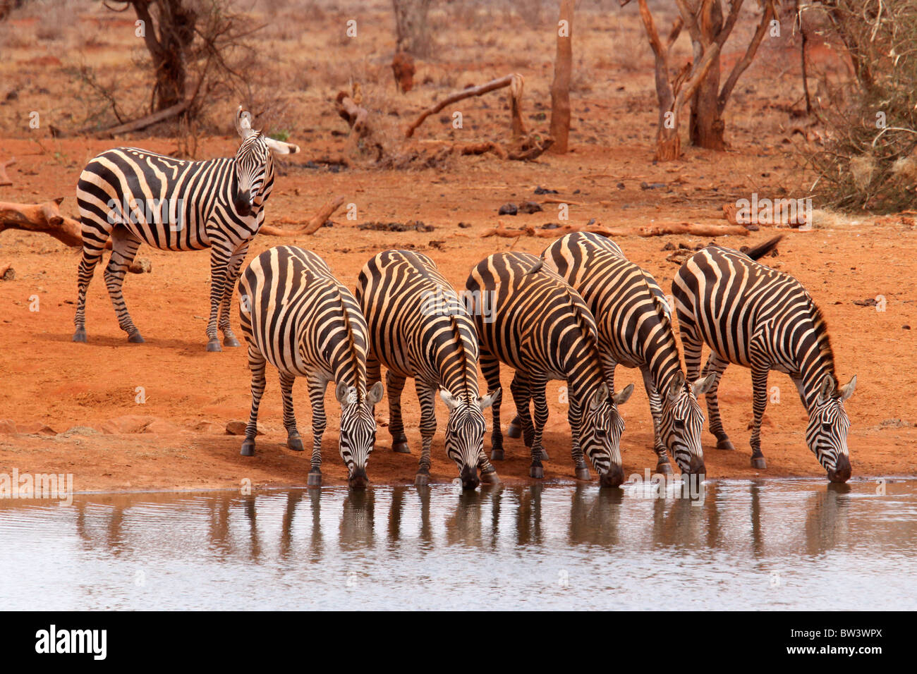 Herd of zebras drinking - Stock Image