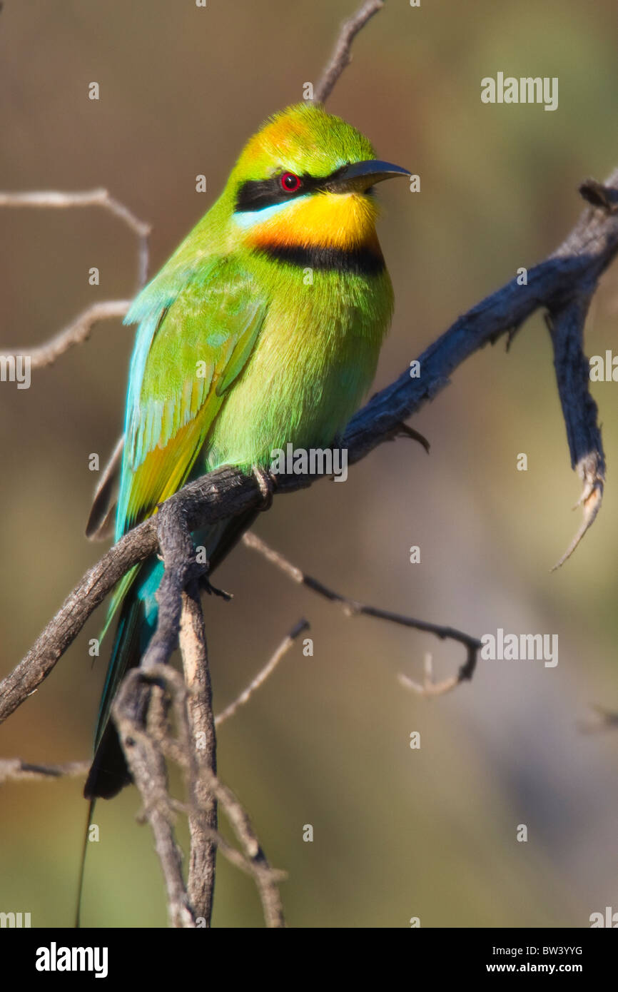 Rainbow Bee-eater (Merops ornatus) perched on a branch - Stock Image