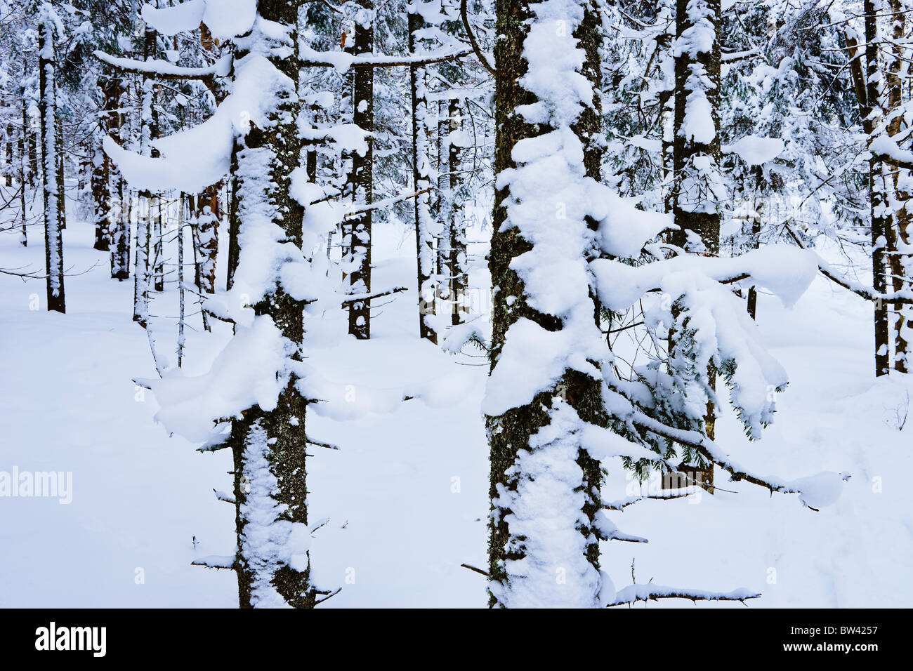 Snow-covered on coniferous forest, Saint-Adrien-d'Irlande, Quebec - Stock Image